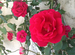 Rose_20rouge