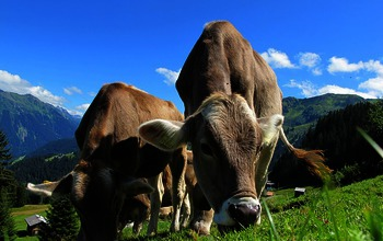 Cows-cow-203460_640